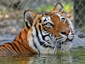 a tiger in the water at big cat sanctuary sarasota