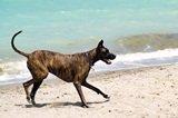 Great Dane on Dog Beach at Brohard Beach Venice Florida