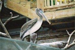 Florida Aquarium pelican