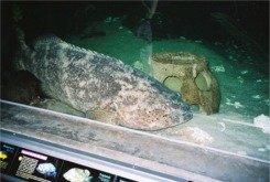 A Goliath grouper at the Florida Aquarium in Tampa