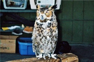Great horned owl at Earth Day at Oscar Scherer Park