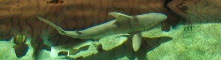 Sharks at Mote Aquarium Sarasot