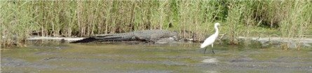 An American Alligator at water's edge on the Myakka Lake near Sarasota Florida
