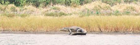 An American Alligator walking into the water at Myakka State Park
