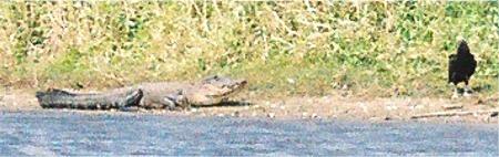 American Alligator resting on the shore at Myakka Park