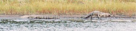 Alligators walking into Myakka Lake in Florida