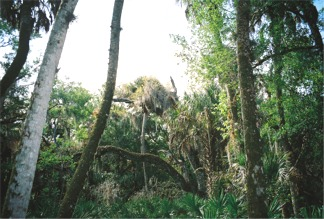 The Palm Trees in the Nature Trail of Myakka Park