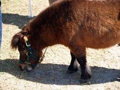 Miniature horse at Sarasota County Pet Festival