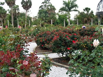 The Mable Ringling Rose Garden on the Ringling Museum Grounds in Saraota, Florida