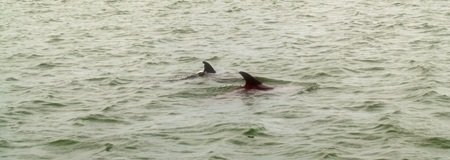 Dolphins in Sarasota Bay Florida